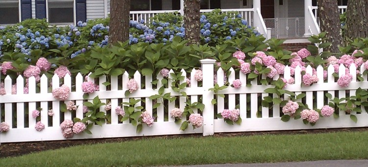 pink-and-blue-hydrangeas-along-a-white-picket-fence
